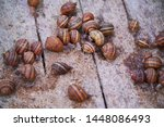 Stock photo helix aspersa muller maxima snail organic farming snail farming edible snails on wooden snails 1448086493