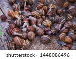 Stock photo helix aspersa muller maxima snail organic farming snail farming edible snails on wooden snails 1448086496