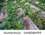 Stock photo helix aspersa muller maxima snail organic farming snail farming edible snails on wooden snails 1448086499
