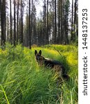 German Shepherd Dog GSD standing in tall grass along the shore of Lemolo Lake in Oregon.