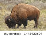 Bison With A Hitchhiker - YNP