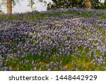 Bluebonnets  Lupinus Texensis ...