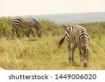 zebra feeding in the grassland... | Shutterstock . vector #1449006020