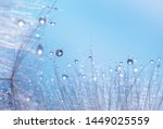 Dandelion With Water Drops....