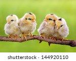 group of new born chicks on... | Shutterstock . vector #144920110