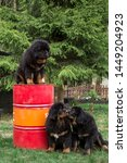 Stock photo tibetan mastiff puppies one puppy is sitting on a red iron barrel two puppies sniff each other 1449204923