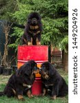 Stock photo tibetan mastiff puppies one puppy is sitting on a red iron barrel two puppies sniff each other 1449204926