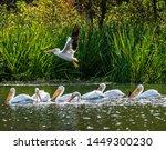 White Pelicans Fishing On Lake