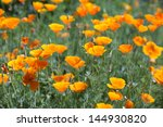 Bright Orange Poppies In Full...