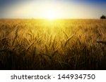Wheat Field Under Blue Sky....