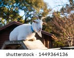A White Goat Sitting On The...