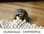 Stock photo little turtle petite baby tortoise 1449400916