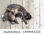 Stock photo the cat feeds her milk on young kittens cat nursing her little kittens close up 1449451223