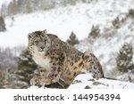 Rare Elusive Snow Leopard In...