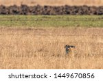 Stock photo european brown hare lepus europeaus hiding in field spring time 1449670856