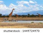 Three reticulated giraffe Giraffa camelopardalis reticulata three zebra zebras queue to drink water at waterhole Sweetwaters Ol Pejeta Conservancy Kenya East Africa sky distance copy space