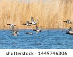 Common Pochard Ducks Flying...
