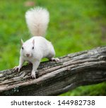 Rare White Squirrel On A Woode...