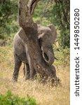 African Elephant Plays Peekaboo ...