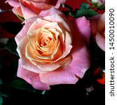 Stock photo macro photo nature blooming flower pink rose background plant rose with pink and open bud image 1450010090