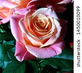 Stock photo macro photo nature blooming flower pink rose background plant rose with pink and open bud image 1450010099