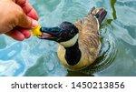 Feeding A Canada Goose On My...