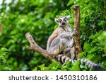 The Ring Tailed Lemur  Lemur...