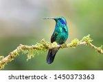 Green Violet Ear  Colibri...