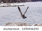 Canada Goose Taking Off From...