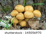 Shaggycap Mushrooms  Pholiota...