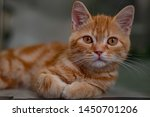 Stock photo cute kitten looking while rest 1450701206