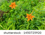 Two Orange Day Lilies Flowers...