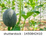 fresh green baby watermelon... | Shutterstock . vector #1450842410