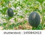 fresh green baby watermelon... | Shutterstock . vector #1450842413