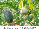 fresh green baby watermelon... | Shutterstock . vector #1450842419