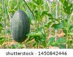 fresh green baby watermelon... | Shutterstock . vector #1450842446