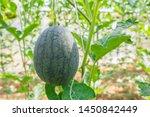 fresh green baby watermelon... | Shutterstock . vector #1450842449