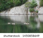 Four Canadian Geese Swimming O...