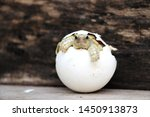 Stock photo africa spurred tortoise are born naturally tortoise hatching from egg cute portrait of baby 1450913873