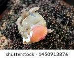 Stock photo africa spurred tortoise are born naturally tortoise hatching from egg cute portrait of baby 1450913876