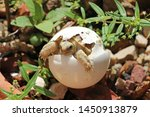 Stock photo africa spurred tortoise are born naturally tortoise hatching from egg cute portrait of baby 1450913879
