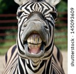 Stock photo zebra smile and teeth 145093609