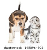 Stock photo beagle puppy and tabby kitten standing together isolated on white background 1450964906