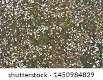 Stock photo fallen apple tree flowers petals in garden white petals on the ground brown texture of earth with 1450984829