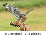 American kestrel with wings...
