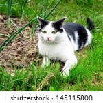 black white cat hunting in the...