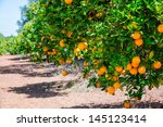 Close Up Of Orange Trees In Th...