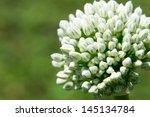 Macro Of Blooming Onion Flower...