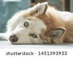 Husky lies on the floor and looks away. Portrait of gorgeous Siberian Husky dog. Husky with beautiful blue eyes.