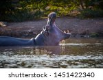 Hippo In The Water  With Open...